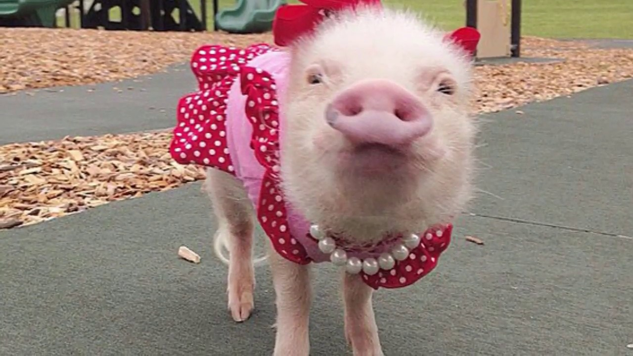 Image result for pig in costume