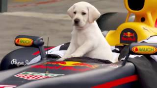 Guide Dogs Australia Named Official Charity For The 2017 Formula 1 Rolex Australian Grand Prix