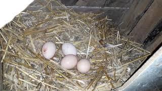 Co robić , aby kury niosły więcej jaj w zimę.