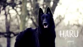 Haru ; Belgian Shepherd Groenendael ~ 1 year old