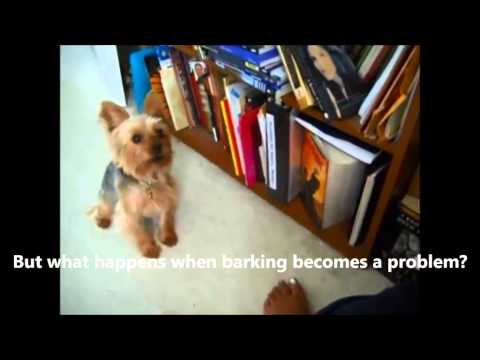 my-yorkies-yapping-problem---i-love-my-yorkies-temperament-except-barking!