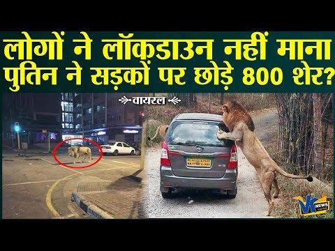 पुतिन ने लोगों को घरों में बंद रखने के लिए सड़कों पर छोड़ दिए हैं 800 शेर?