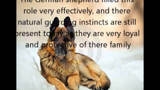 German Shepherd History: Livestock Guardian/herding Dog To Police/military Dog