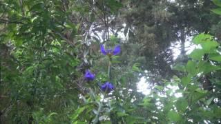 Purple Iris Morning Bloom Final 1 tem
