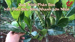 Kỹ thuật trồng Mít Thái siêu sớm nhanh lớn và hiệu quả nhất