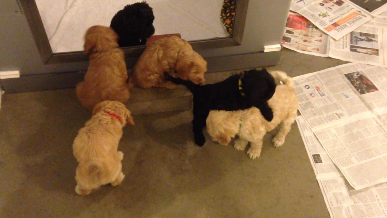 Alder's Australian Labradoodle Puppies - 6 weeks old