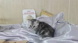 Мраморная шотландская кошечка - продажа.
