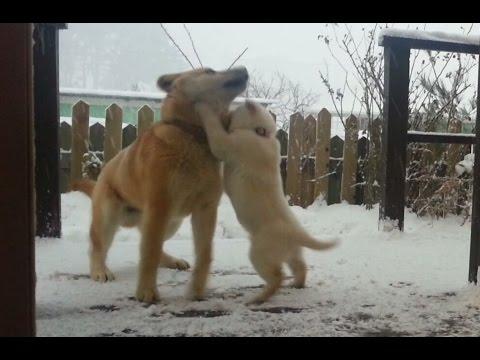 [5] 큰개도 못당하는 아기진돗개의 당찬 기백 / Gangsters baby dog