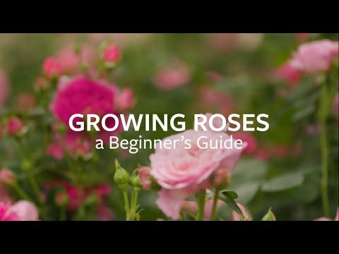 How to grow Roses | Grow at Home | Royal Horticultural Society