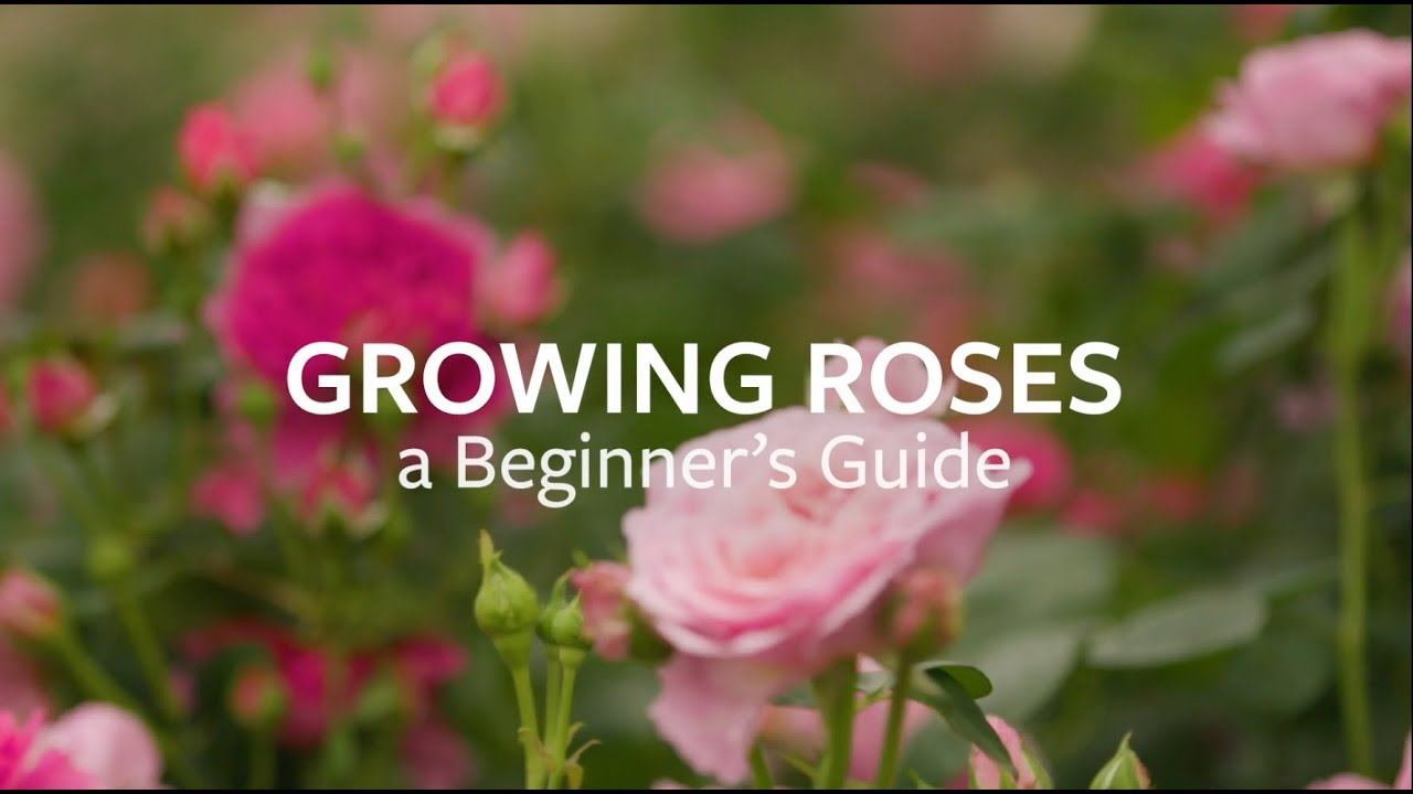 Growing Roses A Beginner S Guide Youtube