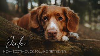 Nova Scotia Duck Tolling Retriever  Jule