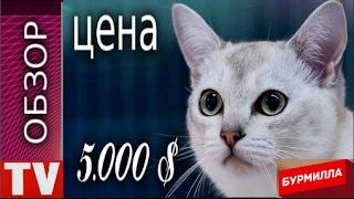 ПУШКИНО  Дорогая  Кошка  БУРМИЛЛА  цена  5 000 $