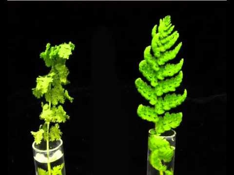 Resurrection Plant Video 3 - Professor Jill Farrant, UCT