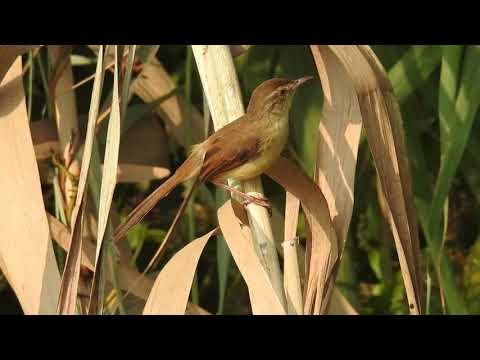 video of Plain Prinia at Nalban