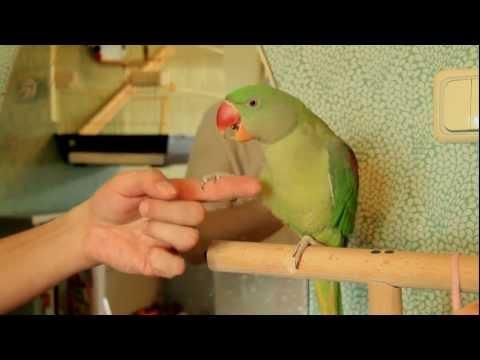 Александрийский попугай, приручение молодого самца.