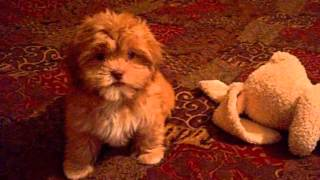 Shorkie Puppies Are Hypoallergenic And Non Shedding Puppies