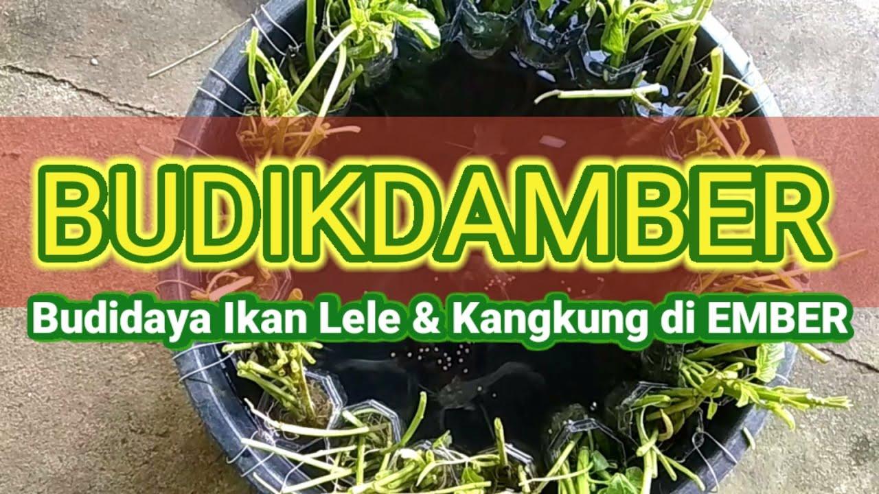 Teknik BUDIKDAMBER    Budidaya Ikan Lele dan Kangkung di ...