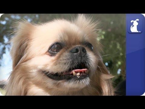 Doglopedia - Pekingese