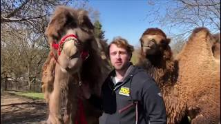 Brushing our Bactrian Camels