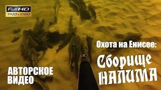 Зимняя подводная охота на Енисее. Стая налимов (2015, с озвучкой).