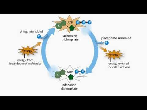 Adenosine Triphosphate (Cells and Energy)