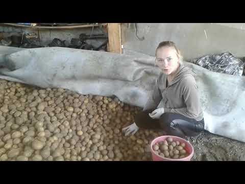 Наш урожай картошки!Перебираем!