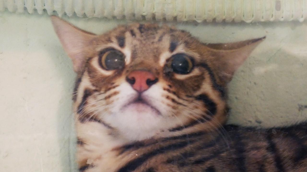 Абиссинская кошка / Описание породы - YouTube