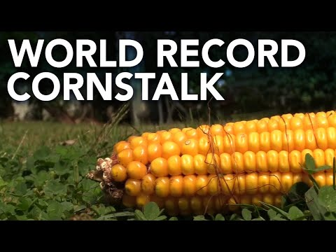 Dan Blackman - World Record Cornstalk grown by accident in South Jersey!
