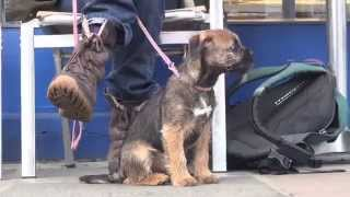 Border Terrier Training School (unofficial)