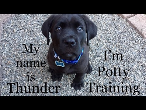 8-week-old-puppy-is-potty-training-(how-to-train-quickly)