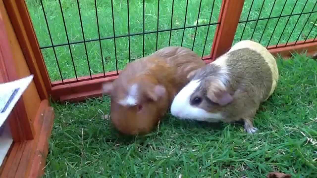 A Guinea Pig Adventure