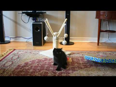 Exotic shorthair female black kitten