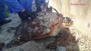 Critically-endangered hawksbill turtle rescued at Melaka beach