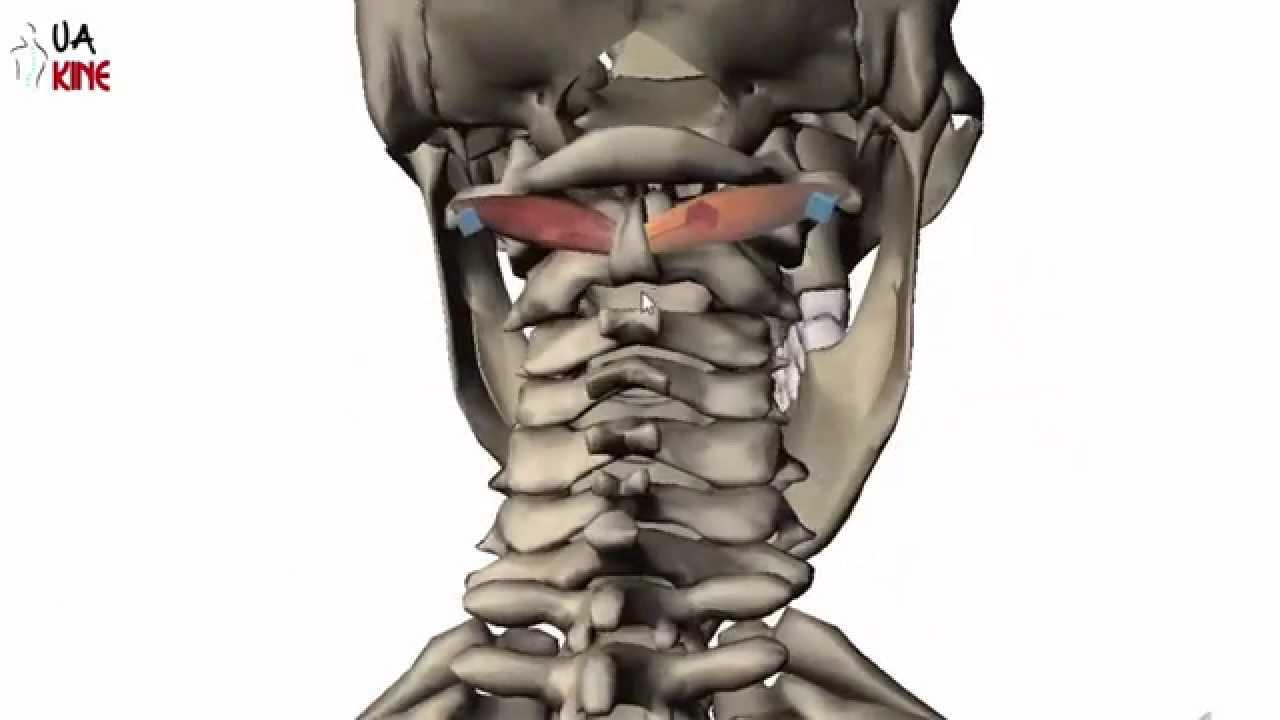 Anatomía Oblicuo Postero Inferior de la Cabeza (Características ...
