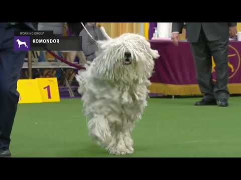 Komondor | Breed Judging (2019)