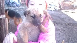 Продаю щенят немецкой овчарки и алабая.