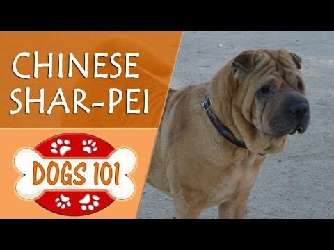 Dogs 101  CHINESE SHARPEI  Top Dog Facts About the CHINESE SHARPEI