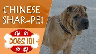 Dogs 101 - CHINESE SHAR-PEI - Top Dog Facts About the CHINESE SHAR-PEI