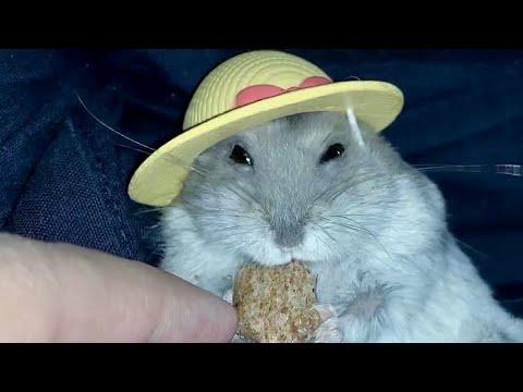 Aujourdhui, je vous présente ma portée de hamsters nains russes.
