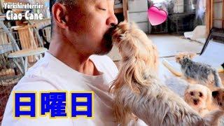【ヨークシャーテリア専門犬舎チャオカーネ】 いかがお過ごしですか? #...