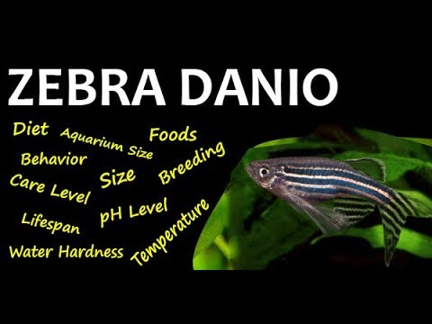 Aquarium Fish All About - ZEBRA DANIO