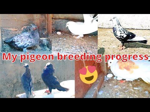 Download My 🕊️ Pigeon breeding 🔥progress and New Pigeon || mere Ghar ke Kabootar ke 🥚 Ande aur bacche ||