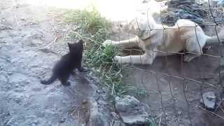 Котенок играет с собакой