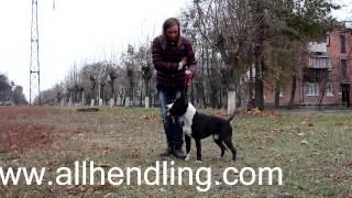 Самое важное в Хендлинге -  состояние собаки Урок по Хендлингу (шоу показу)