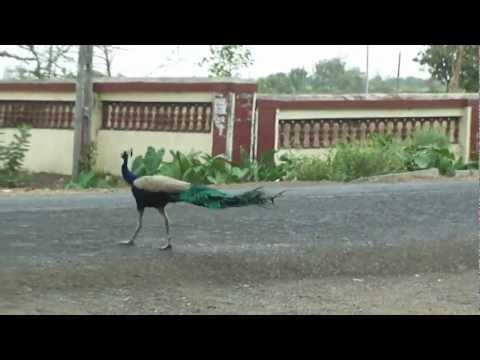 Peacock with feathers down in Singod, Surat, Gujarat, India; 20th April 2012