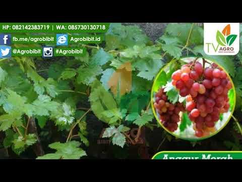 Jual Bibit Anggur Import Red Globe Manis