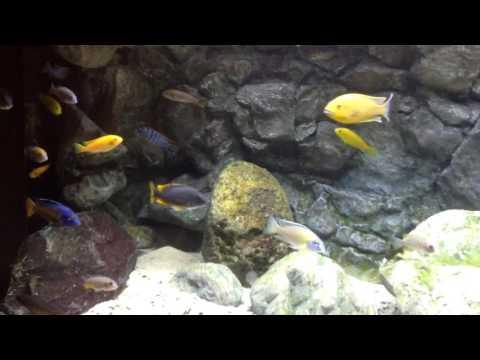 Malawi aquarium John K. Holland