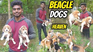 DOGS FOR SALES| BEAGLE PUPPY SALES | DOG KENNELS | Delivery Available