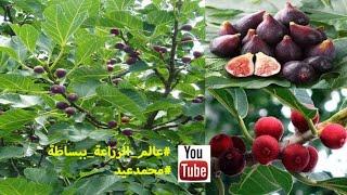 افضل طريقة لتسريع نضج ثمار التين   طريقة زيادة انتاج التين   تكبير حجم ثمار التين