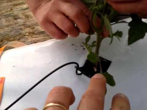 L 39 orto in contenitore de il trifoglio parte 2 for Scacchiatura pomodori